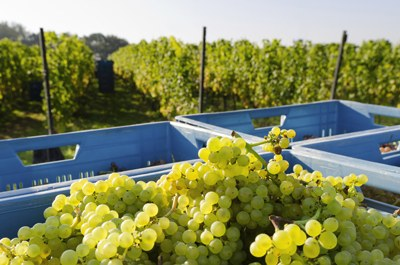 CO2 cooling of grapes during transportation, pressing and pre-maceration